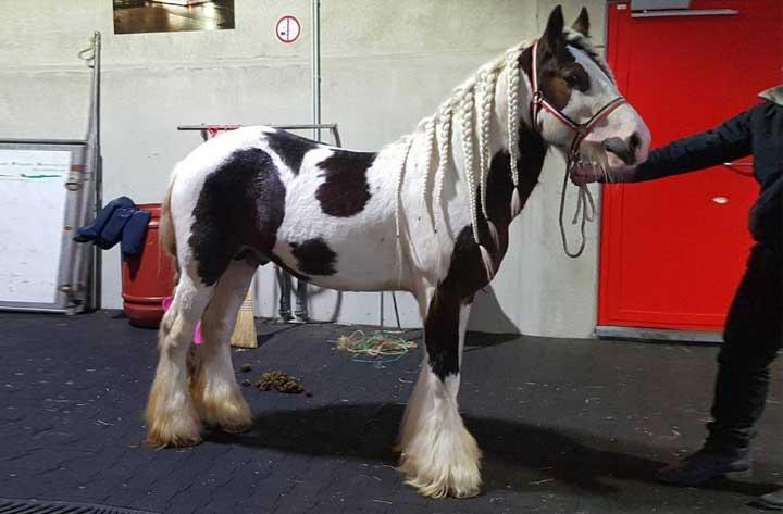 Export-paard